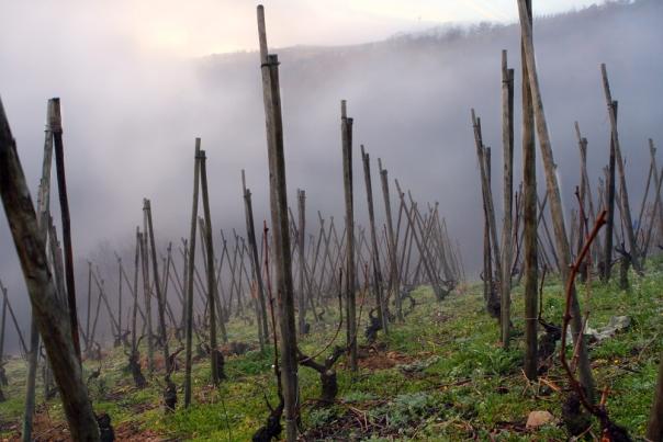 viogiener vingård
