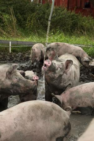 Domtagrisar i grisbadet