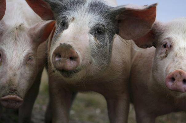 Allt är gott på grisen