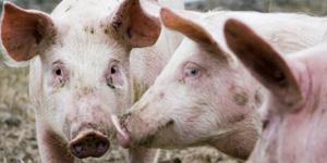 På jakt efter grisens hemlighet